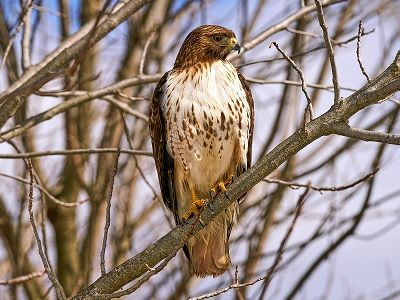 See 'Red-tailed hawk (photo 2)'