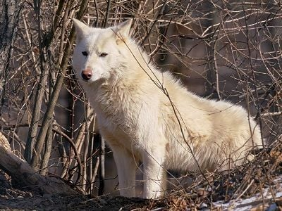 See 'Wolf (photo 2)'