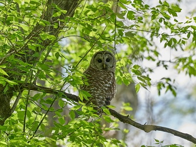See 'Barred owl  (photo 1)'