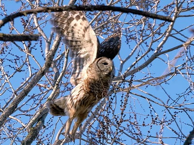 See 'Barred owl (photo 3)'