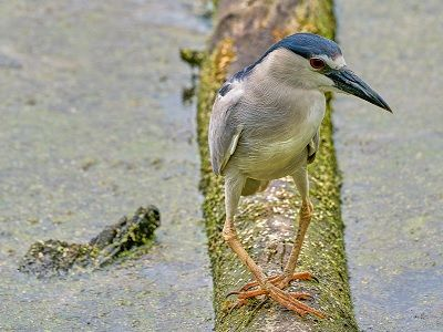 See 'Black-crowned night heron (photo 1)'