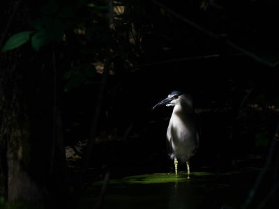 See 'Black crowned night heron'