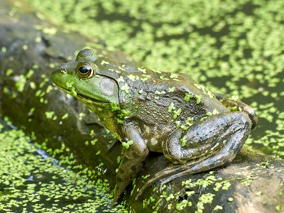 See 'Frog on a log'