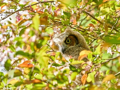 See 'Great horned owl (photo 10)'