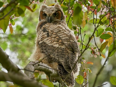 See 'Great horned owl (photo 11)'