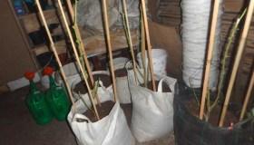 Prienų rajone aptikta kanapių plantacija