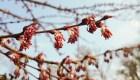 Purpuriniai Japoninio puošmedžio žiedai