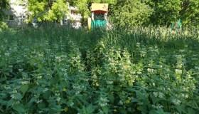 Nepjaunama žolė
