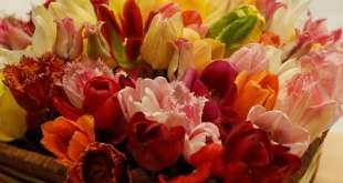 Tulpių žiedai