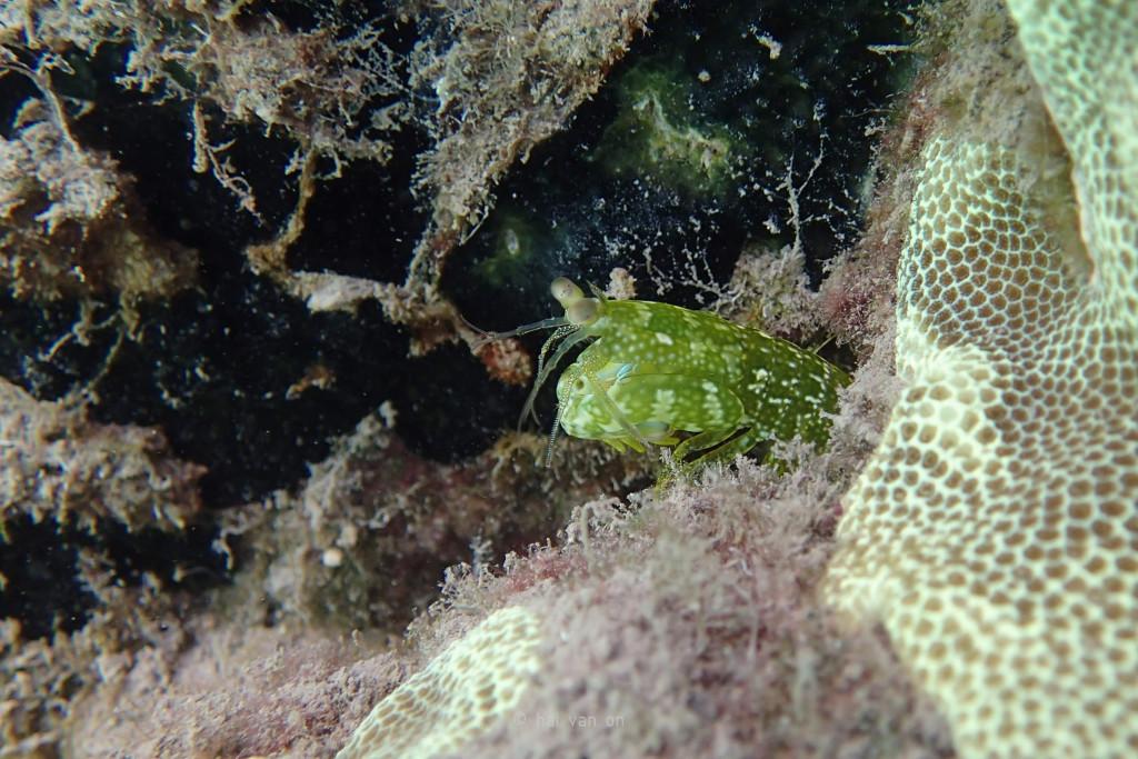 ciliated false squilla mantis shrimp