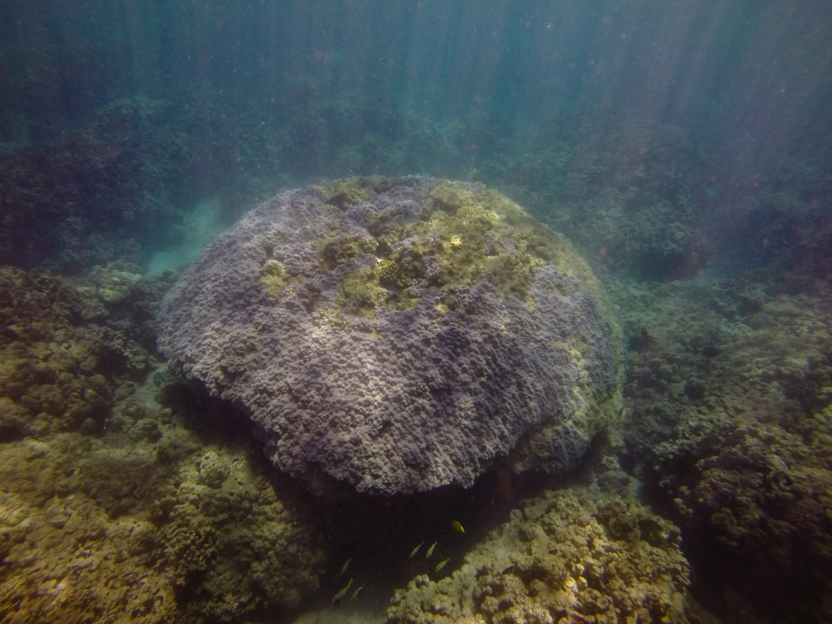 large mound coral head