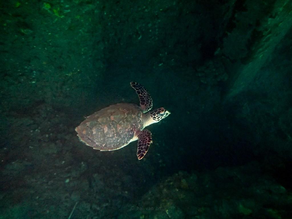 hawksbill sea turtle hb5