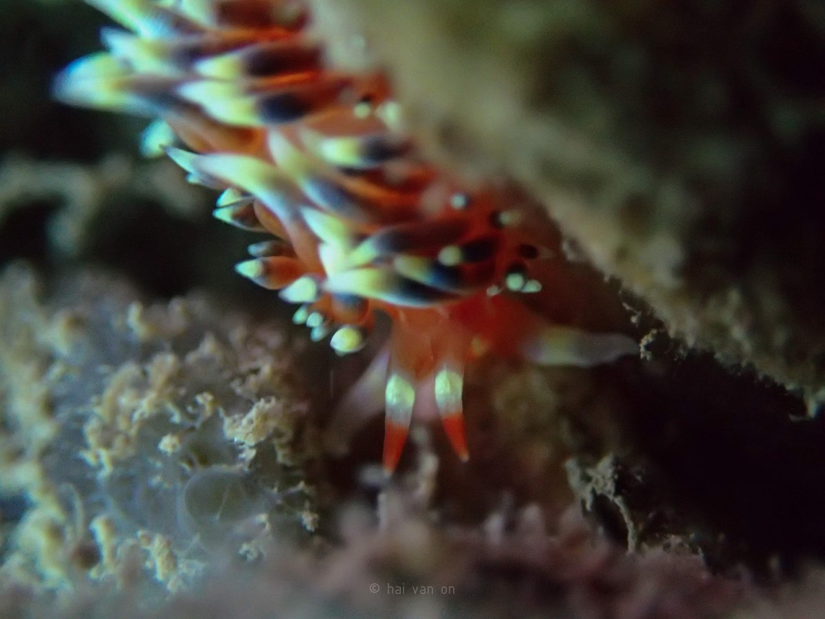 indian nudibranch