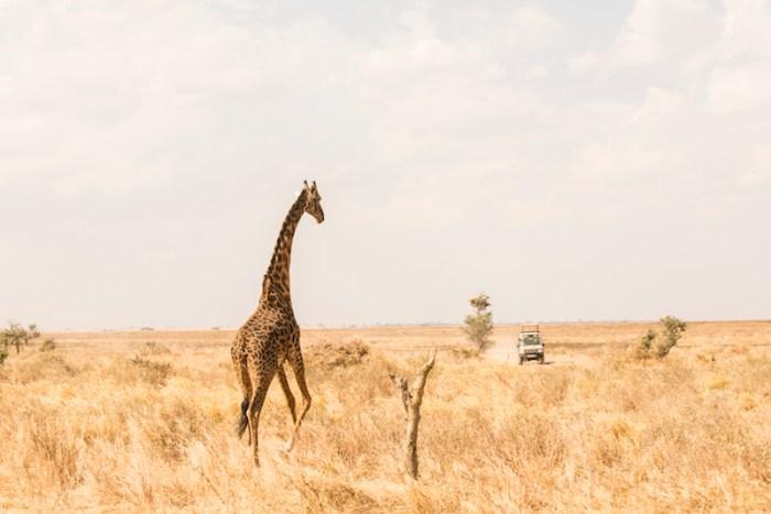 Girafas: Safári no Serengeti