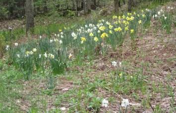 home daffodils 2