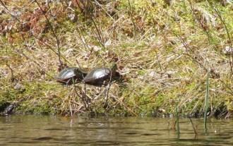 Knapp land turtles 2