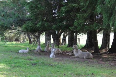 1 Llamas
