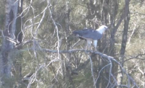 4 sea eagle
