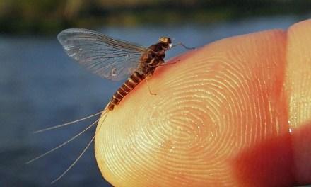 The Hendrickson Mayfly
