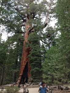 Giant Red Wood