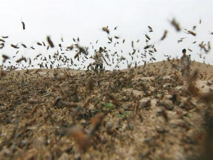 Locusts attacking farms, Iran. Source: Kayhan London