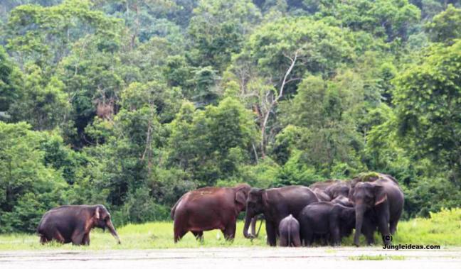Kaziranga National Park, Indian Elephant Kaziranga, Elephant Safari Kaziranga, Kaziranga