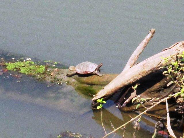 Turtle Kaziranga National Park