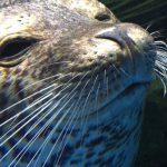 仙台うみの杜水族館、今日のゴマフアザラシ #s_uminomori https://t.co/2wBrNYp7hF