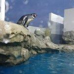 仙台うみの杜水族館、シャッターチャンスと見せかけ、水槽に飛び込まないペンギン? #s_uminomori https://t.co/UUJj7SB5Hr