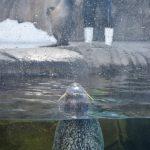 仙台うみの杜水族館、飼育員に遊んで欲しそうに眺めるゴマフアザラシさん #s_uminomori https://t.co/ORL73fK3Tw