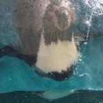 仙台うみの杜水族館、ペンギンって水槽に近づいて泳ぐの好きだよね? #s_uminomori https://t.co/V9wXyEib8X