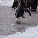 仙台うみの杜水族館、雪の上を歩けと言われても困るよね(戸惑うペンギンたち #s_uminomori https://t.co/R3WgWa83OH