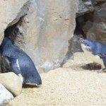 仙台うみの杜水族館、フェアリーペンギン #s_uminomori https://t.co/jl1W9DznBb