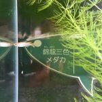 仙台うみの杜水族館、錦龍三色メダカ #s_uminomori https://t.co/NB7IWRiiA4