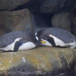 仙台うみの杜水族館、ダブルペンギン? #s_uminomori https://t.co/UsiQYnIFQk