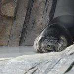 仙台うみの杜水族館、バイカルアザラシ。添付画像2枚を交互に見ると楽しい。 https://t.co/jhRpvQHVA4