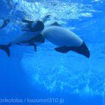 仙台うみの杜水族館、イロワケイルカさん。励んでいる様子も。 https://t.co/9JzVqpPjAp