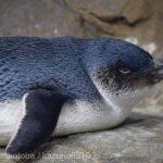 仙台うみの杜水族館、フェアリーペンギンさん https://t.co/kvFaCGJcB7