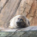 仙台うみの杜水族館、バイカルアザラシさん https://t.co/ksNPk5YlP1