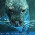 仙台うみの杜水族館、ゴマフアザラシさん https://t.co/H5zszIa5JU