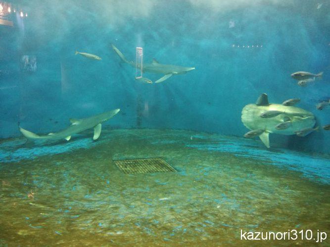 仙台うみの杜水族館 ヨシキリザメとマンボウ