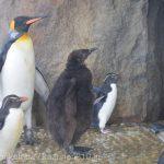 仙台うみの杜水族館、オウサマペンギンの赤ちゃん https://t.co/ftmFyyiCYH