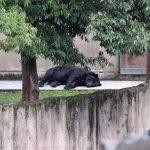 仙台市八木山動物公園、ツキノワグマさん https://t.co/PNqzwz4eX1