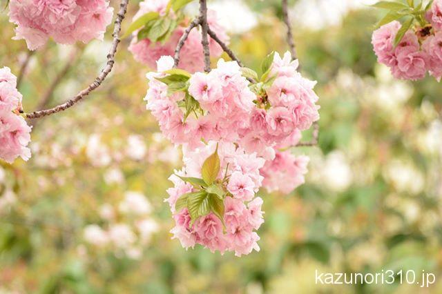 #造幣局  #桜の通り抜け #nikonD5300