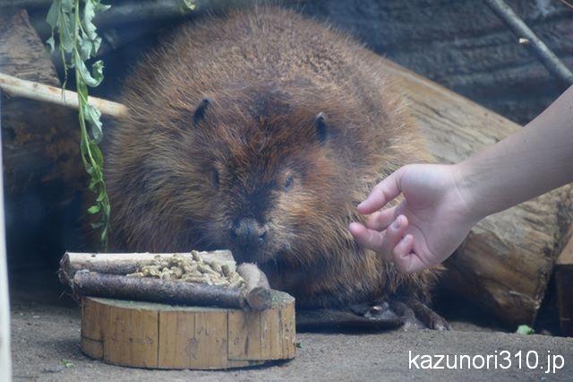 #アメリカビーバー #仙台うみの杜水族館 #nikonD5300