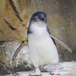 #フェアリーペンギン #仙台うみの杜水族館