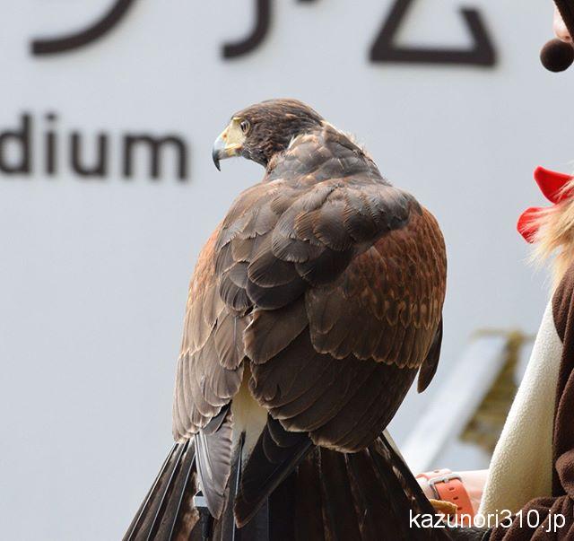 #ハリスホーク #仙台うみの杜水族館 #nikonD5300
