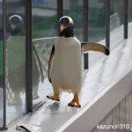 #ジェンツーペンギン #仙台うみの杜水族館 #nikonD5300