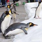 #オウサマペンギン #仙台うみの杜水族館 #nikonD5300 足元気をつけて