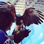 #ハリスホーク #仙台うみの杜水族館 #nikonD5300 久しぶりに常連さんにお会いした。